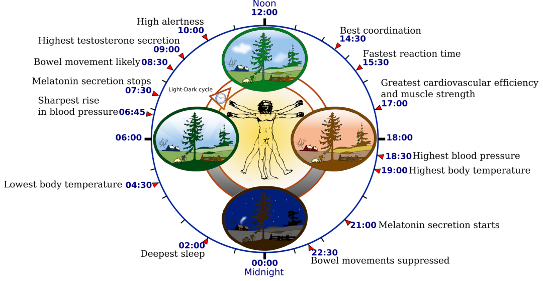 2000px-Biological_clock_human_svg
