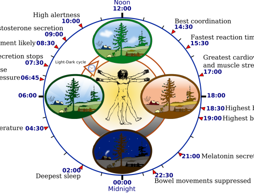 2000px-Biological_clock_human_svg